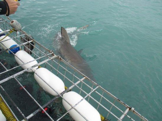 Gansbaai, Sydafrika: Shark approaching cage