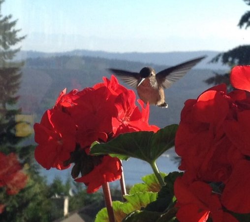 Cedar House on the Hill B&B: Hummingbird visit in the morning