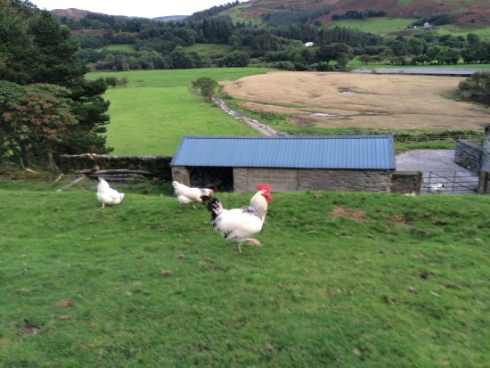 Machynlleth, UK: The Chickens are free range