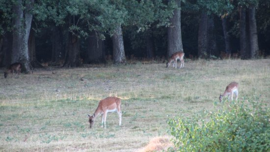 Chateau de la Vauguyon: Deer in the backyard