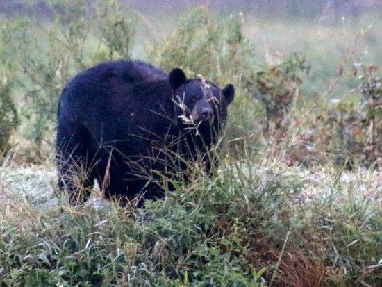 Manteo, North Carolina: another bear