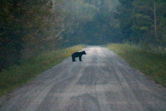 Manteo, NC: Still another bear