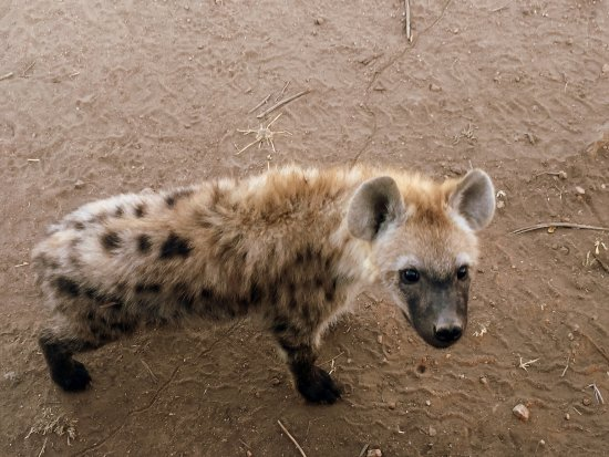 Kings Camp: Hyena