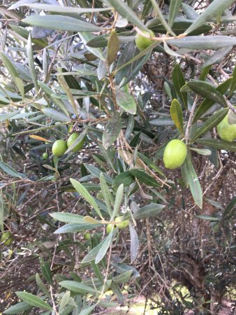 Wimberley, TX: Olives