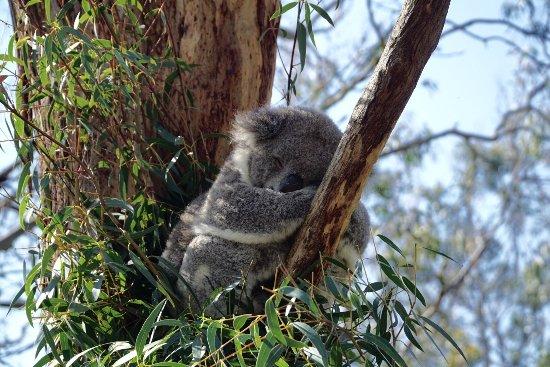 Cowes, Australië: Koala