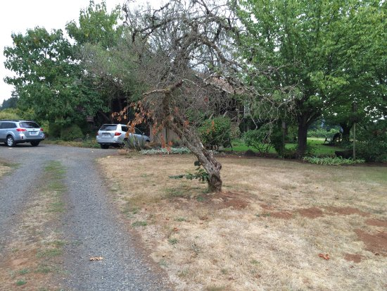 Dundee, OR: Dead Hazelnut Tree