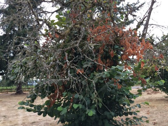 Dundee, OR: Dying Hazelnut Tree