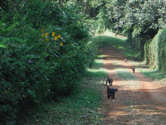 Windsor Golf Hotel and Country Club: Walking with monkeys