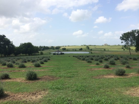 Chappell Hill Lavender Farm: Beautiful view