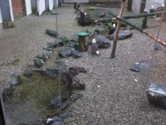 Alaska Raptor Center: Several of the center's bald eagles