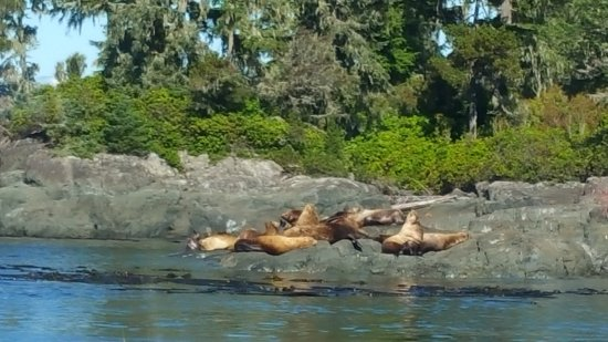 Port McNeill, Canada : sunbathing sea lions