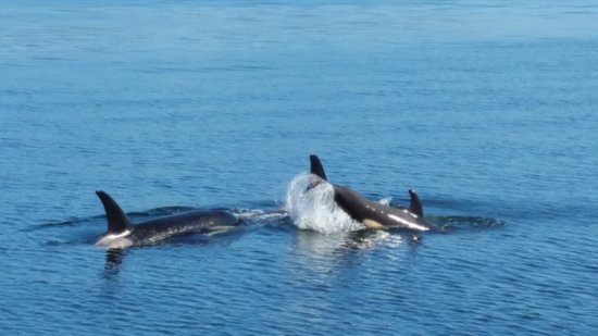 Port McNeill, Canada: more orcas
