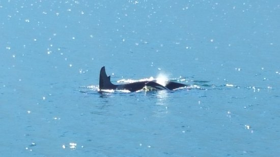 Port McNeill, Canada: and more orcas