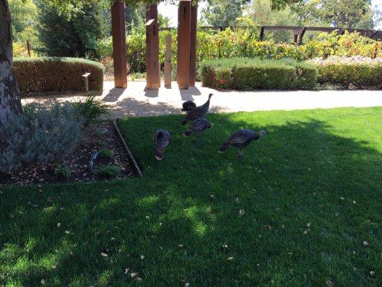 Hyatt Vineyard Creek Hotel : Wild turkeys on property