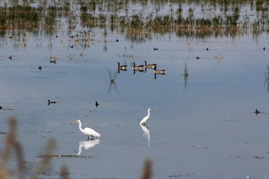 Tulelake, CA: Egrets, wood ducks, and coots in abundance!