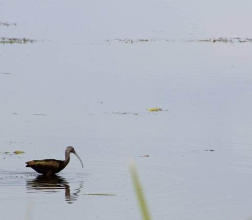 Tulelake, CA: White faced Ibis.