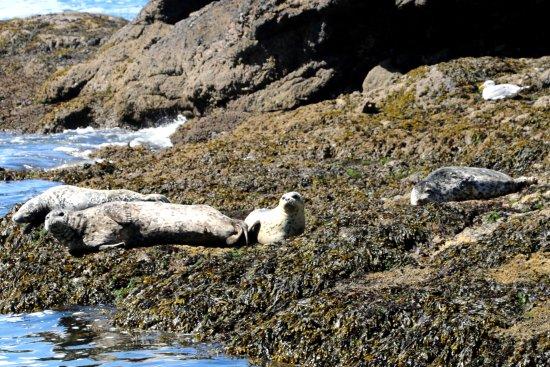 Depoe Bay, Oregón: Harbor Seals