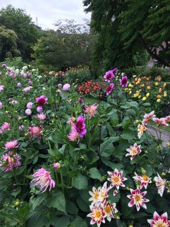 Dahlior i Botaniska trädgården Lund, augusti.