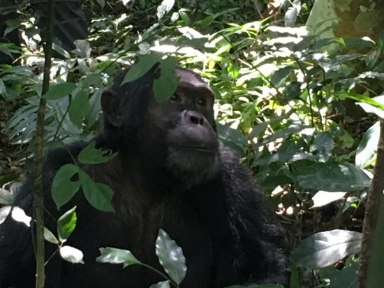 Kasese, Oeganda: peaceful chimp
