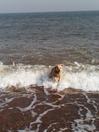 Saxmundham, UK: Merlin enjoying a romp in the sea at Dunwich beach