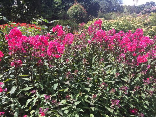 Ticehurst, UK: Phlox Peniculata at Pashley Manor