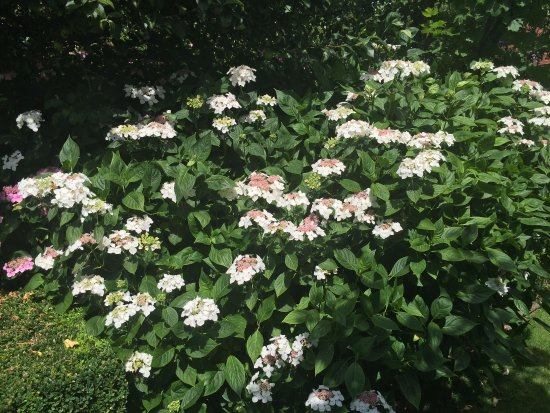 Ticehurst, UK: Viburnum plicatum at Pashley Manor