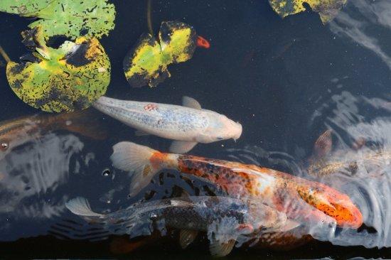 Ventnor pictures featured ventnor photos tripadvisor for Large fish pond