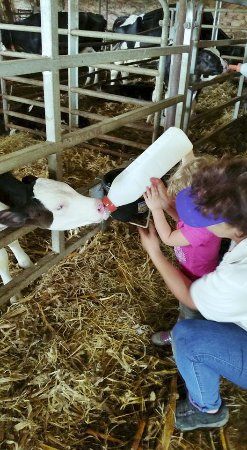 Paradise, PA: Calves are always hungry
