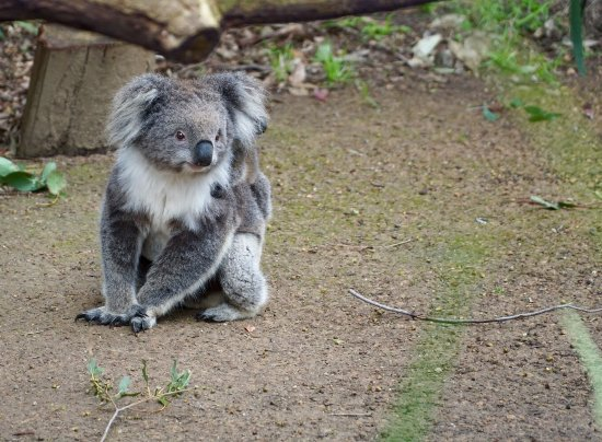 Healesville, ออสเตรเลีย: Koala and her baby