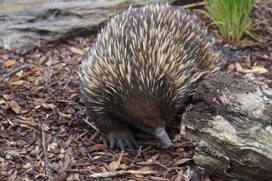 Healesville, ออสเตรเลีย: Echidna