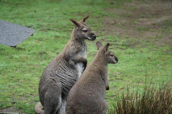 Healesville, ออสเตรเลีย: Kangaroos