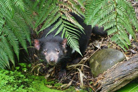 Healesville, ออสเตรเลีย: Tasmanian Devil