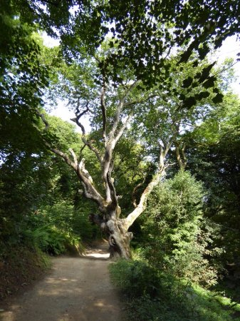 St Austell, UK: Urtümlicher Wald mit alten Bäumen auf dem Georgian Ride