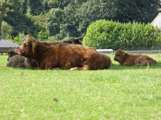 St Austell, UK: Hochlandrinder auf der Weide