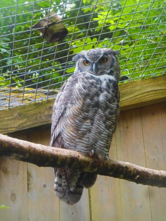 Manaton, UK: Animal exhibit (rescued owl)
