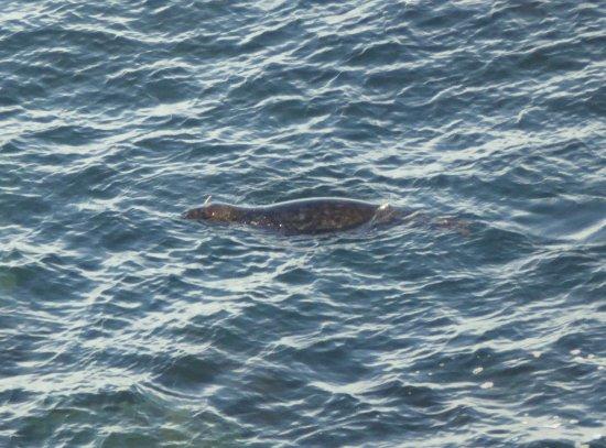Seehund im Meer beim Lizard Point