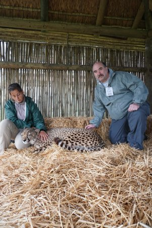 Cheetah Outreach : Up close and purring (the cat not me)