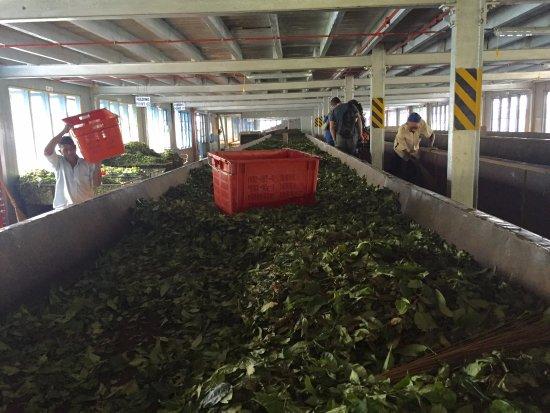 Bluefield Tea Gardens: Bluefield tea factory