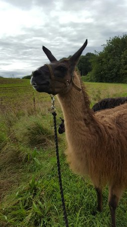 Barton under Needwood, UK: National Forest Llama Treks
