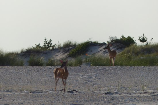 Fire Island Lighthouse: deer