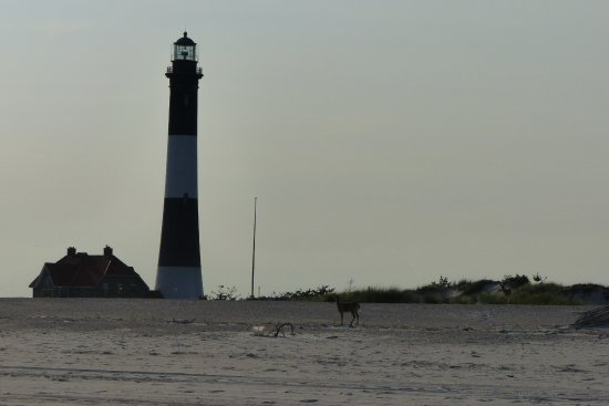 ‪‪Fire Island Lighthouse‬: deer‬