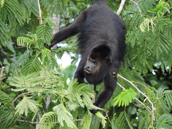 Punta Gorda, Belice: Howler monkeys - taken from Ridge Suite #16