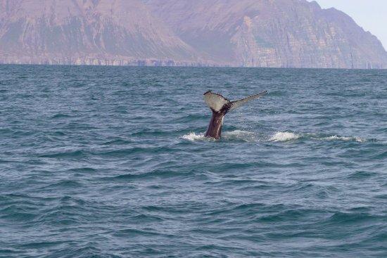 Dalvik, Islandia: One of the whales we saw.