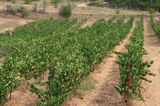 Tourves, France: The winefields