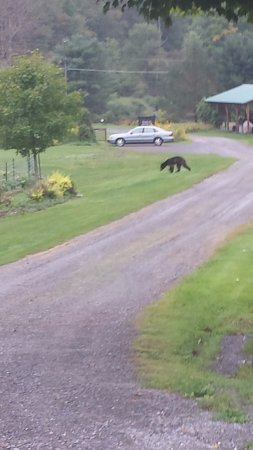Frosty Hollow Bed and Breakfast: A bear strolling through the grounds one morning