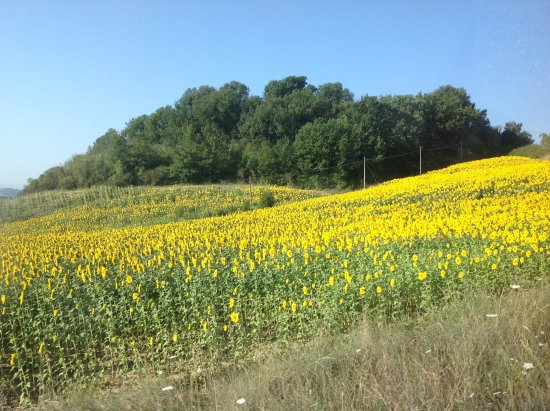 Pieve a Pava: The beautiful sunflowers in bloom.