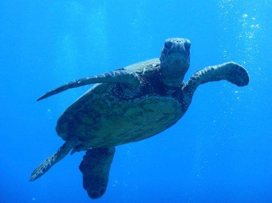 Ka'anapali, Hawái: Honu