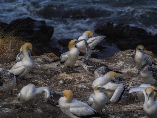 Muriwai Beach, Nova Zelândia: Gannets, gannets everywhere