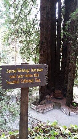 Klamath, CA: Cathedral Tree
