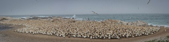 Lamberts Bay, Sør-Afrika: The colony is packed with over 5,000 pairs of nesting birds